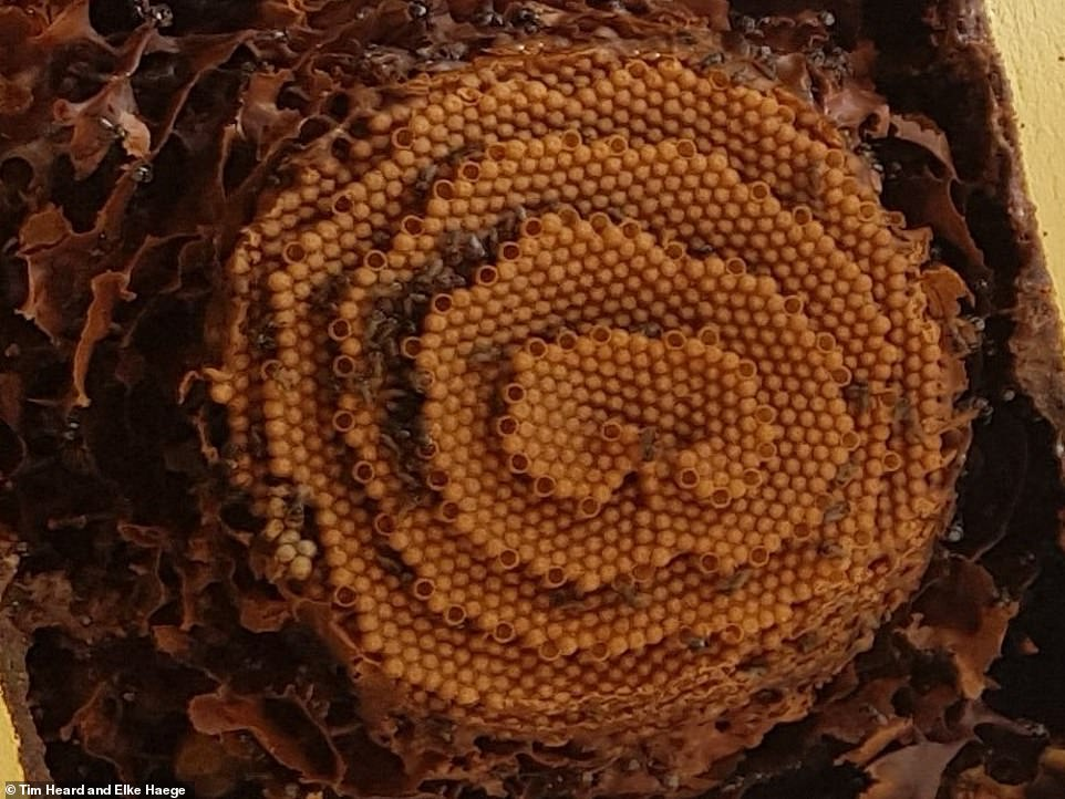 Worker bees add new cells to the edges of each terrace, each of which is then filled with an egg and closed before repeating the process. These layers, or terraces, are then used by the insects to move around the colony and researchers equate the terraces to different levels in a multi-story car park