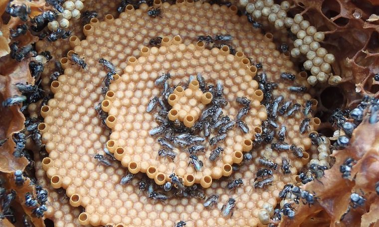 A series of images published as part of a scientific study into the hive structure of Tetragonula bees reveals they often have a distinct bullseye or spiral 3D appearance
