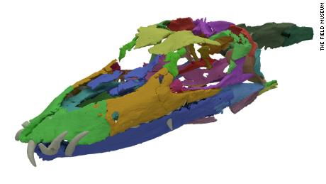 The digitally reassembled fossils show that the Tanystropheus' skull anatomy and nostril placement -- on the top of it's snout similar to a crocodile -- had the characteristics of an aquatic animal.
