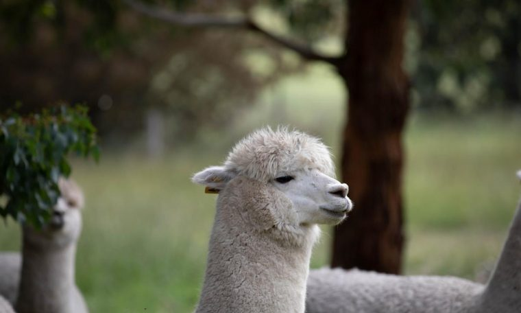 Scientists believe alpacas may hold the key to curing coronavirus because small fragments of the deadly virus that causes COVID-19 flow in their veins.