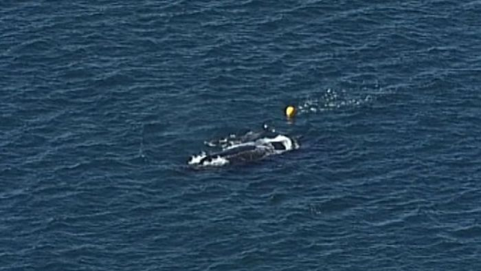 Baby humpback whale freed after being caught in shark drum line off Stradbroke Island