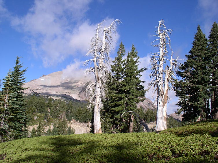 Dead pine tree, mountain in the background.
