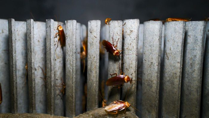 This Chinese cockroach farm has a billion roaches, a moat full of hungry fish
