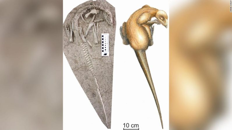 The 125 million year old dinosaur was discovered buried in a volcanic eruption in China