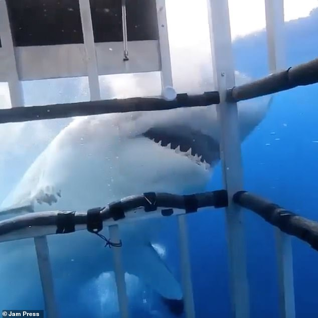 He gave the shark the name Bullet because of a unique mark on his spine that resembled a bullet hole.