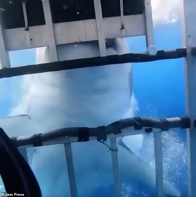 The big white shark claws its powerful jaws tightly to the metal wires of the safety cage