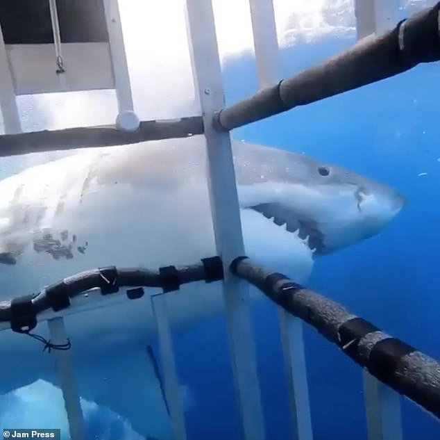 The scenes end with the shark losing interest in the cage and swimming