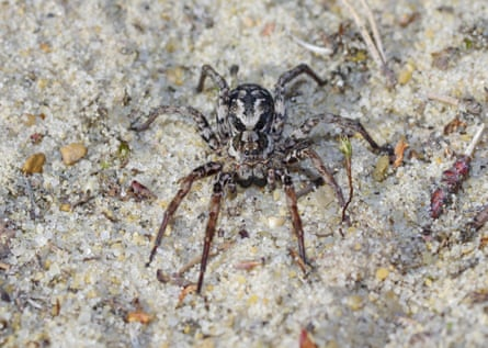 Mike Wade discovered several male large fox-spiders, a female, pictured and unidentified immature spiders.