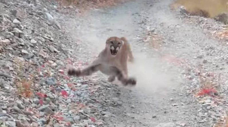 Look at a man on a mountain lion's trunk for 6 terrifying minutes - PGR