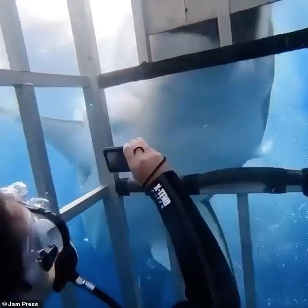 During a dive near Mexico, a large white shark tries to enter a metal cage with three tourists.