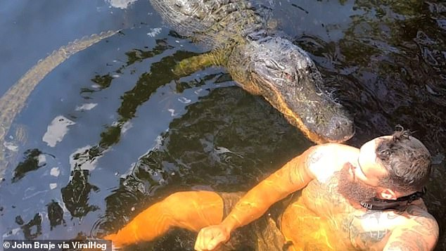 Massive hunting shoulder as Florida man John Braze swims with 13-foot alligator on Everglades