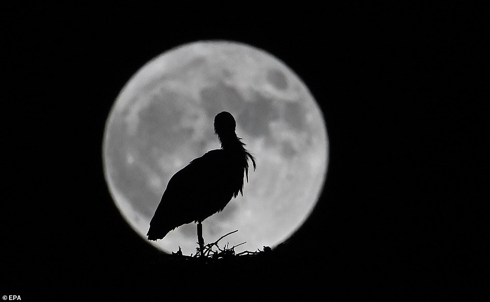 In Madrid, a bird stood in its nest as the rare Blue Moon rose behind it
