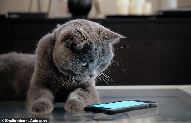 The creators of the new app MeowTalk claim that it can translate a cat's meow and purse into English and identify 13 meanings.  (Stock image)