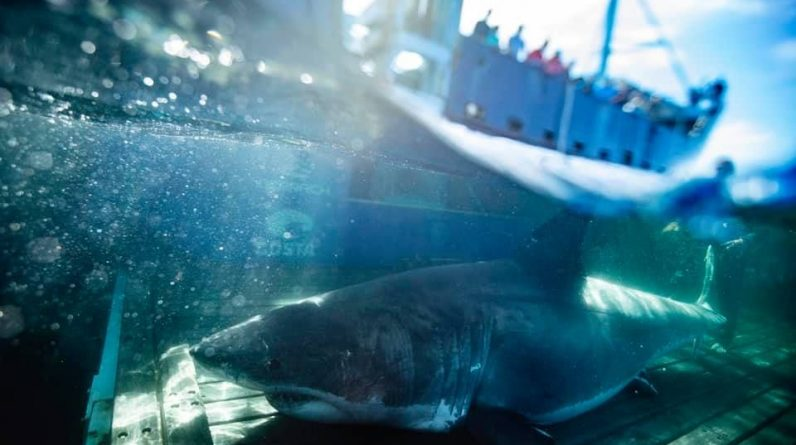 The largest white shark found in the south of Miami
