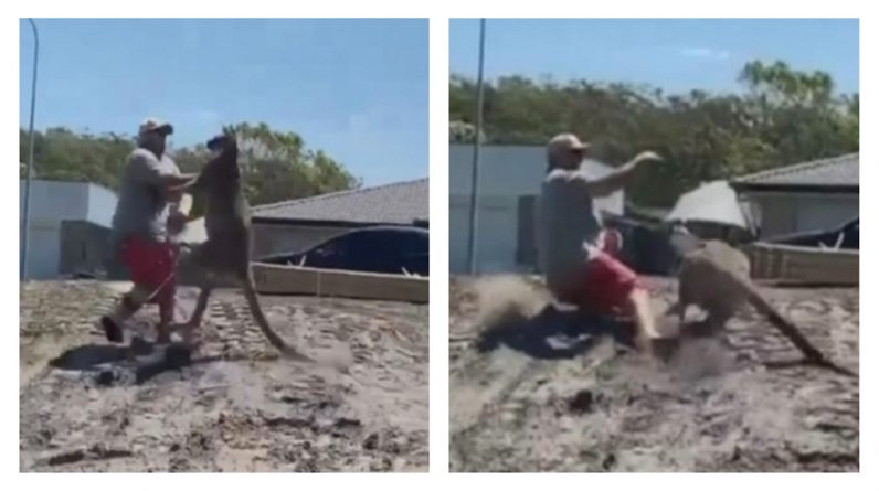 A man is attacked by a giant kangaroo (video)