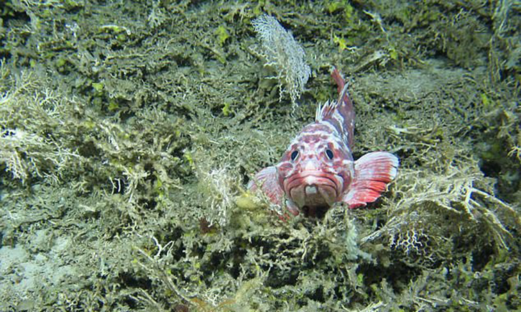 A new species of fish has been discovered at the bottom of the Rockall Bank in the North Atlantic Ocean.  Photo: University of Edinburgh.