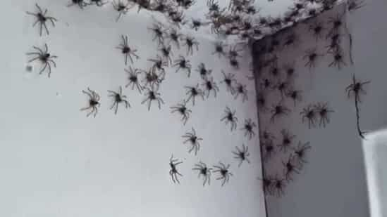 Australia: A woman finds her house infected with dozens of spiders (video)