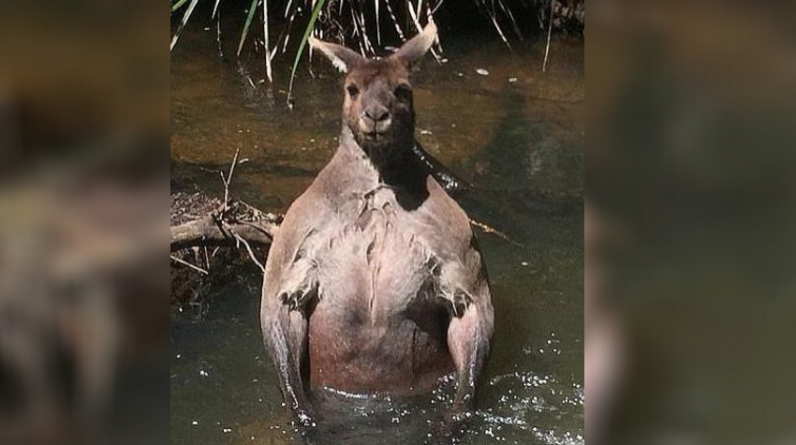 Australia: He comes with a kangaroo impressive physique!
