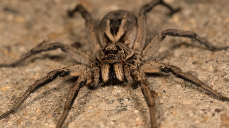 Families face dreamer spider invasions in their homes