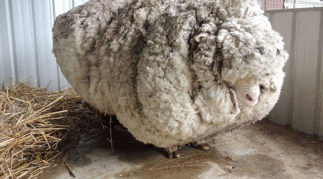 35 kg of wool has been removed from the back of a sheep