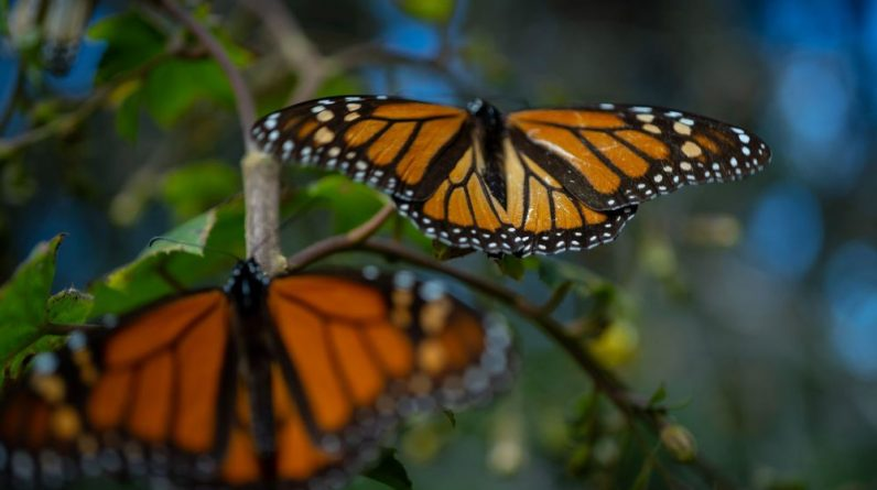 Environment: La Nina event and deforestation hit the monarch butterfly in North America |  Community
