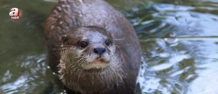 Scientists issued a red alert!  Otter is going extinct!  Important Warning: Only 250 left