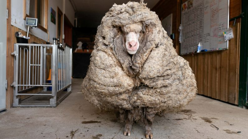 A wild goat with 35 kg of wool by an association