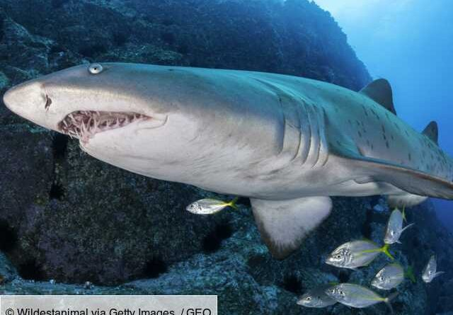 Australia: Tiger sharks, these great protectors of underwater grasslands