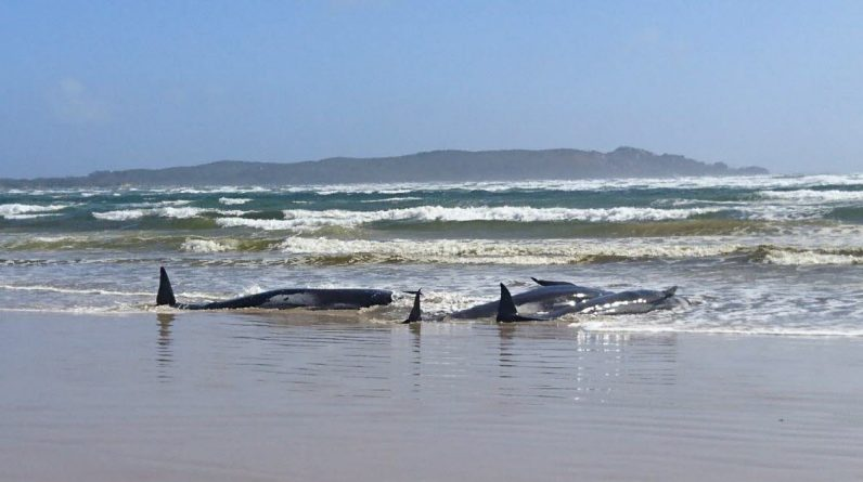 Environment.  Hundreds of Cetaceans stranded in the Australian Gulf, 25 of whom died