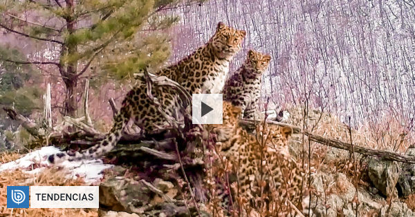 Hidden camera captures extraordinary moment in Russia: A female Amur leopard with her teens |  Community