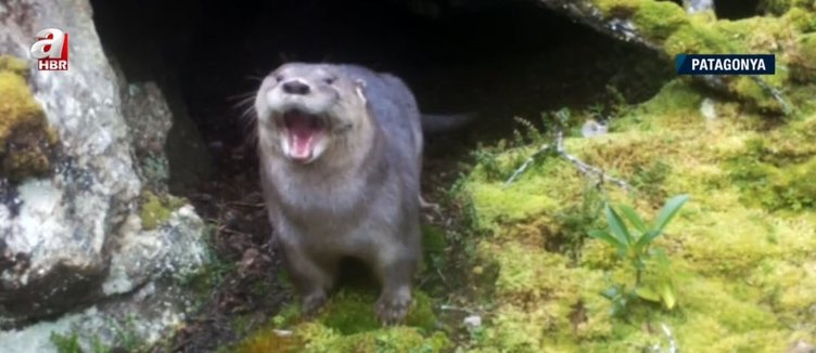 Scientists issued a red alert!  Otter is going extinct!  Complex Warning: Only 250 left
