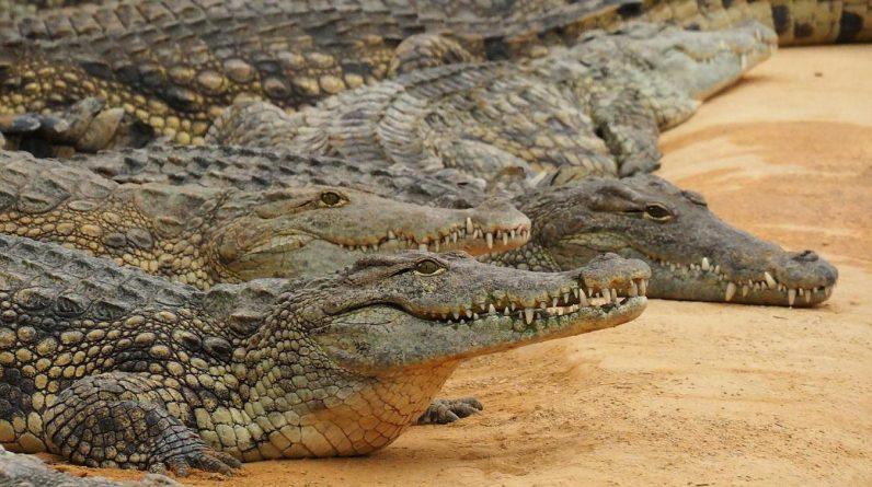 Australie: un fugitif retrouvé nu dans une zone infestée de crocodiles