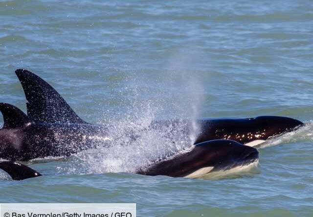 The young humpback whale escaped the attack of 15 orcas in Australia