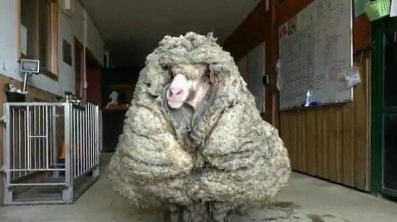 Video.  Australia: A stray sheep sheds its 35kg coat