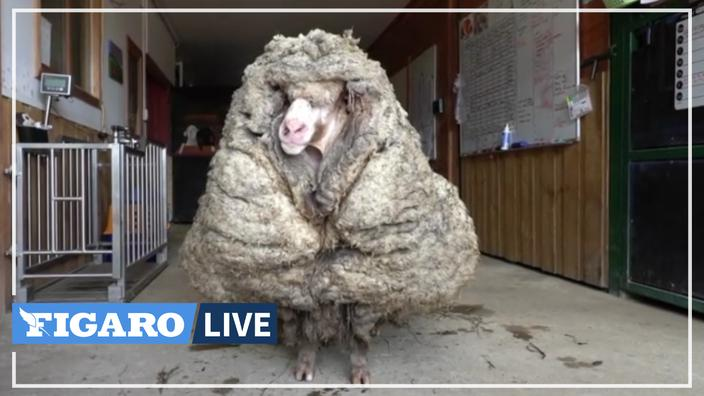 A wild goat was stripped of its 35 kg coat