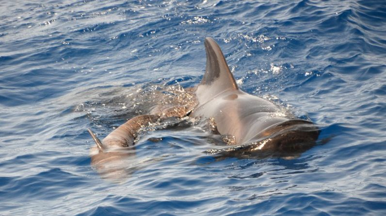 """Australia: 380 """"pilot dolphins"""" stranded in a gulf"""