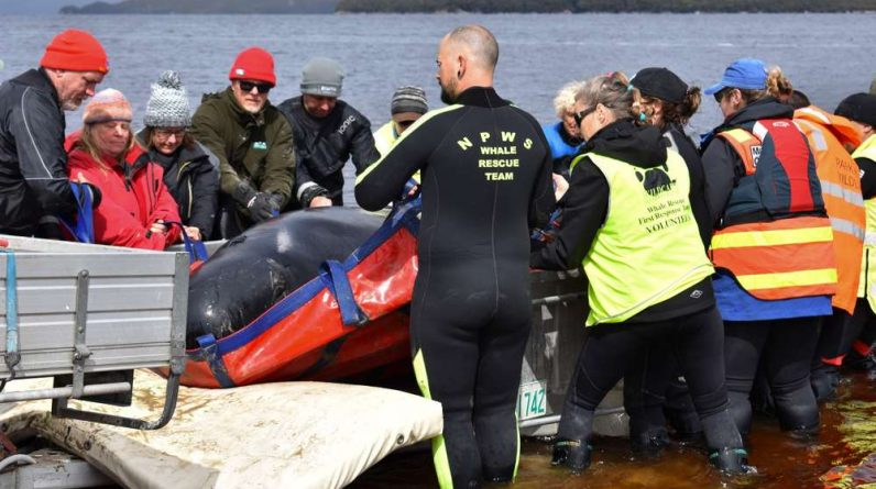 Dolphins stranded in a Tasmanian bay, can they still be saved?