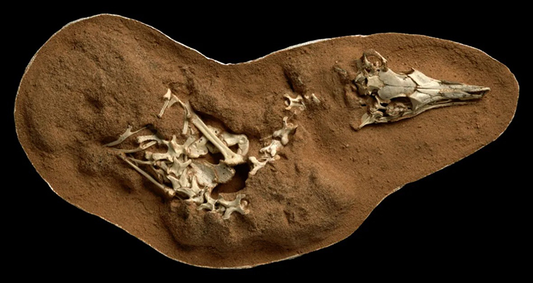 A well-preserved fossil specimen of the Shuia Testi.  Photo: Mick Ellison / Reuters.