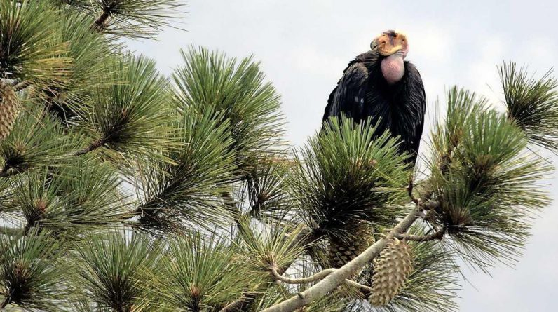 Condors destroys California family home |  Abroad