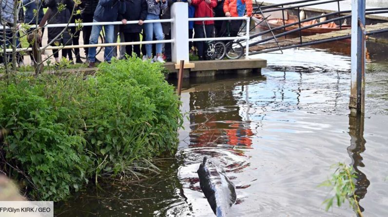 London: A calf wanders over 3 meters in a boot in the Thames