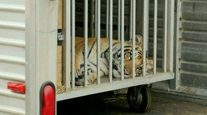 Texas |  The fleeing tiger was found a week after the search