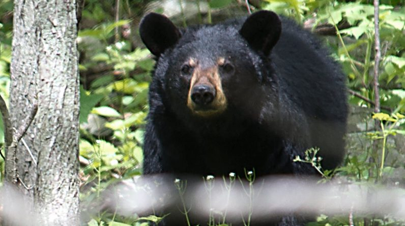 The woman was killed and half eaten by a brown bear in Colorado