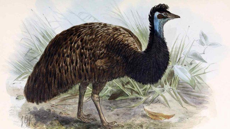 Researchers have found extinct dwarf Emu egg shells in Australian sand dunes
