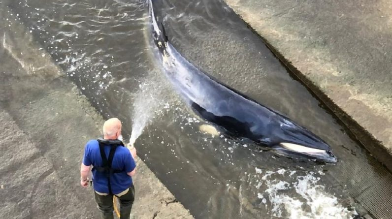 Video: A whale trapped in the Thames in London escapes from rescuers
