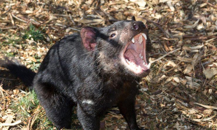 Photo d'un diable de Tasmanie2