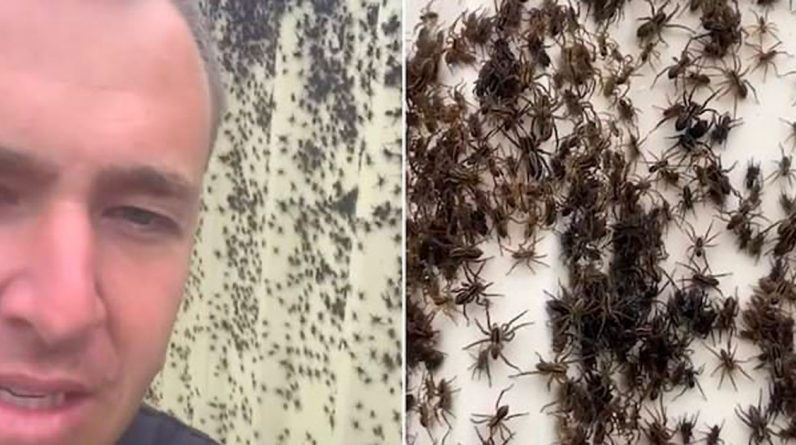 Country faces major invasions of spiders and rats (video)
