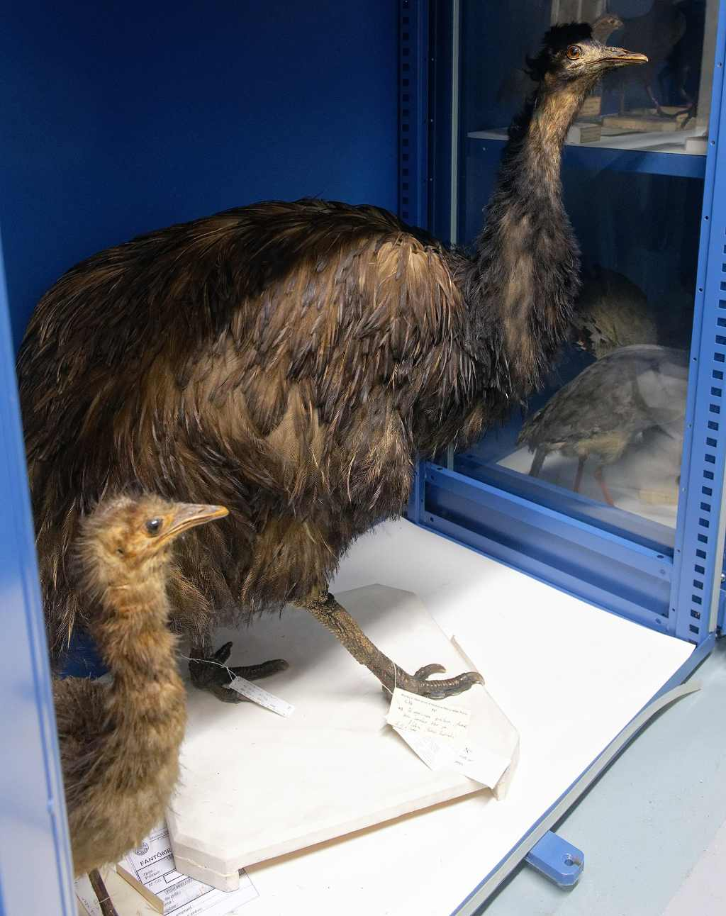 Kings Island Emu (Dromais novaholandia Minor) in the collections of the Museum of Natural History of France.  Image Credit: Wikipedia Commons / Mary-Lon Toy Palmart