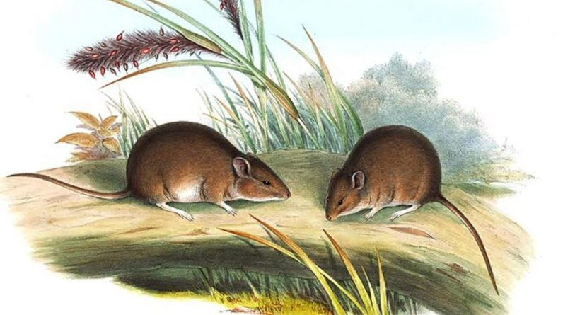 """In Australia, a rodent resurrection is """"extinct for 150 years"""""""