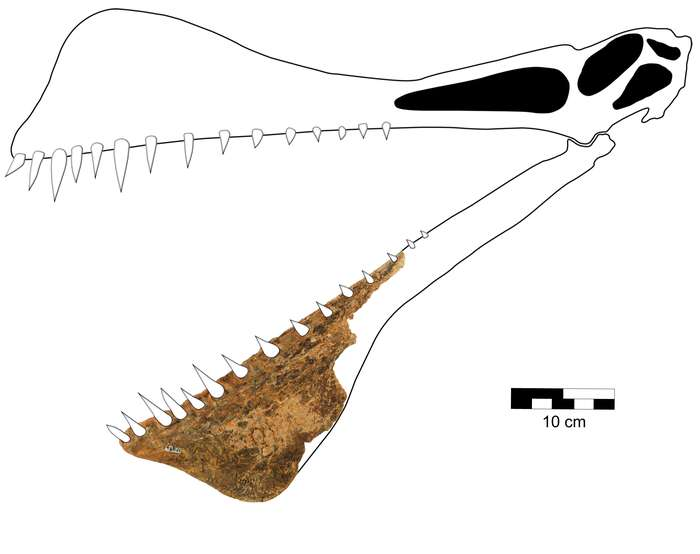 Reconstruction of the morphology of the D. Shavi skull as a function of the lower jaw fossil.  © Richard et al., 2021