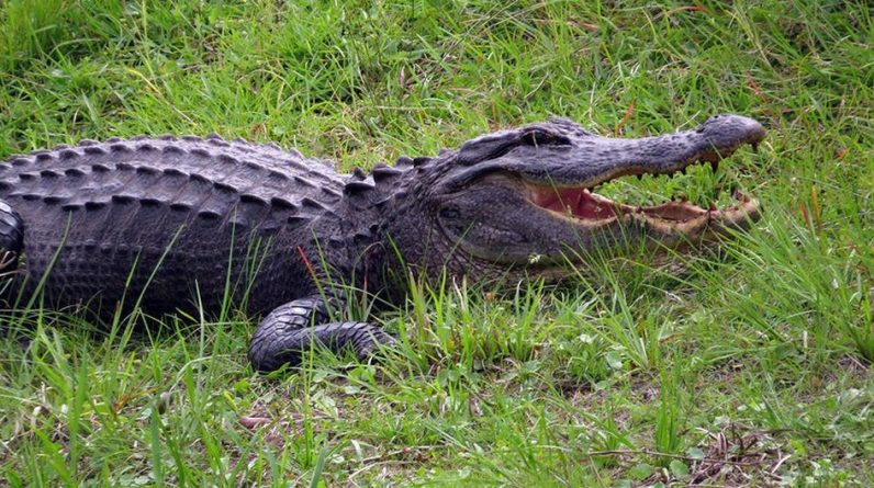 A camouflage crocodile surprises a group of friends who were fishing in the river viral |  Stories |  Viral |  USA |  USA |  USA nnda nnrt |  Fame